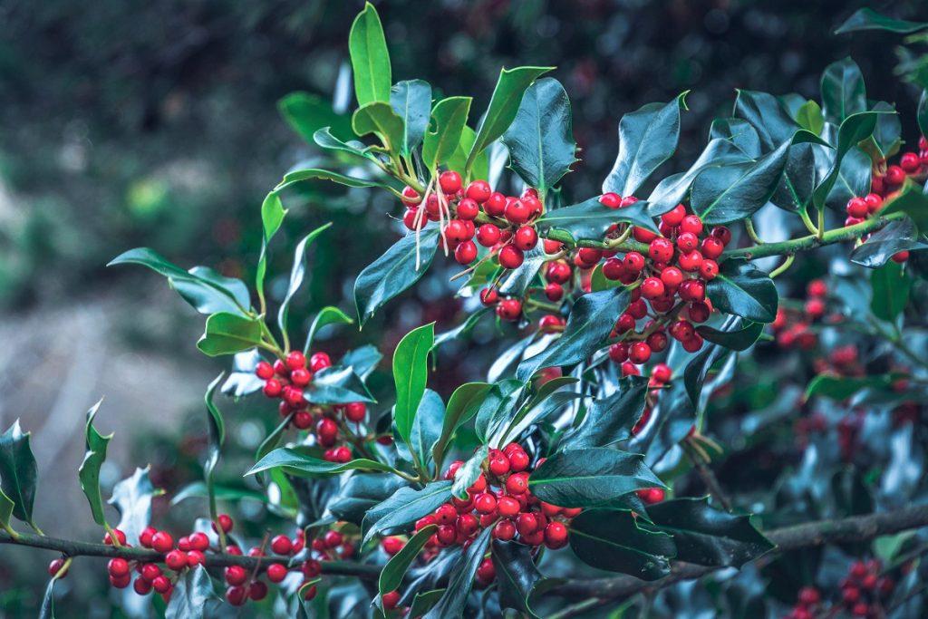 Lacuniacha - Acebos que no son arbustos, sino árboles con una altitud de hasta 10 metros